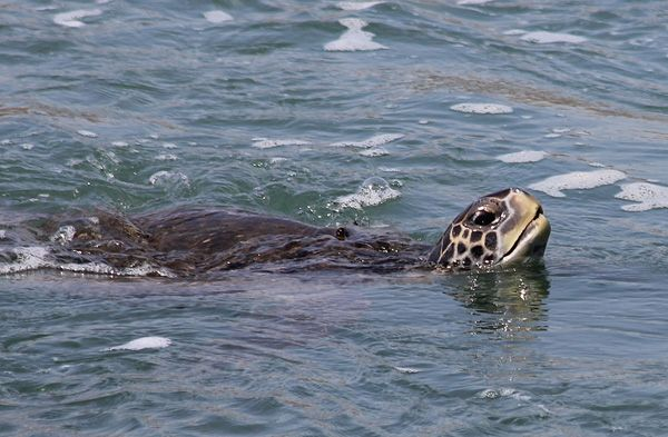 THE URBAN SEA TURTLES OF LONG BEACH