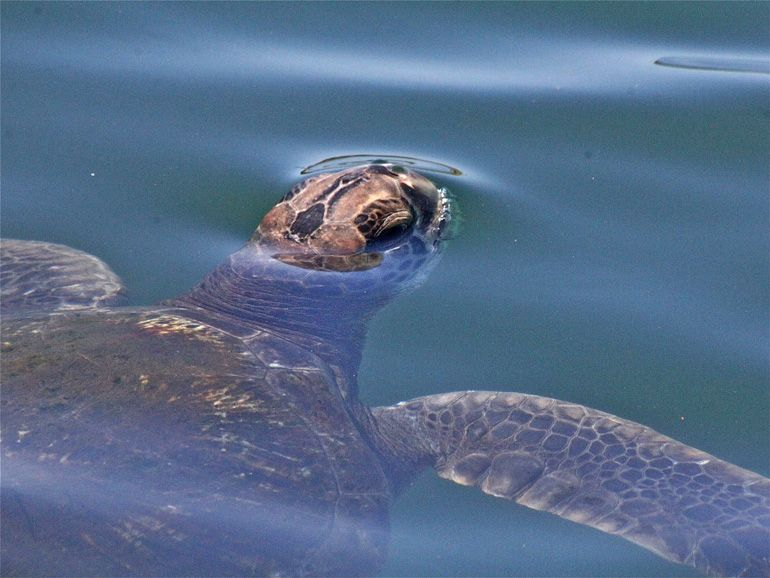 Guide to Urban Sea Turtle Watching