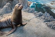 Sea Lion sitting in exhibit