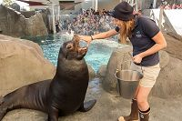 Trainer with hand on sea lion's mouth - thumbnail