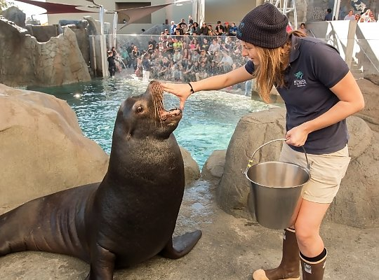 Trainer with hand on sea lion's mouth - slideshow