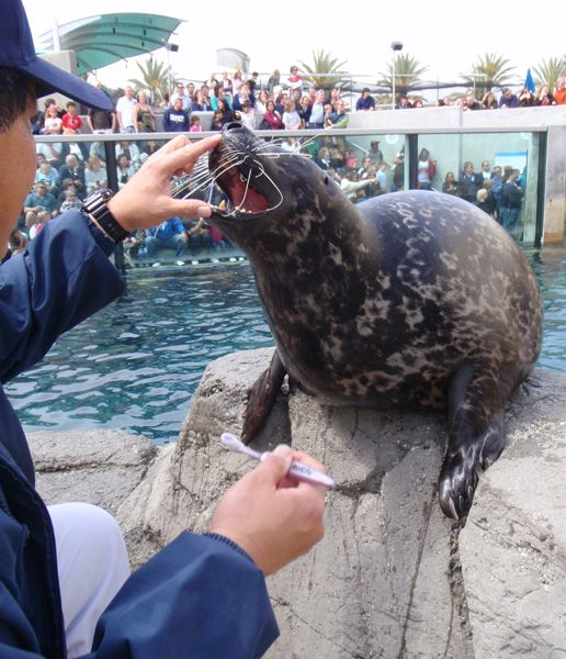Brushing Shelby the Harbor Seal's Teeth