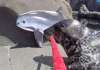 Shelby the Harbor Seal's Vaquita Selfie