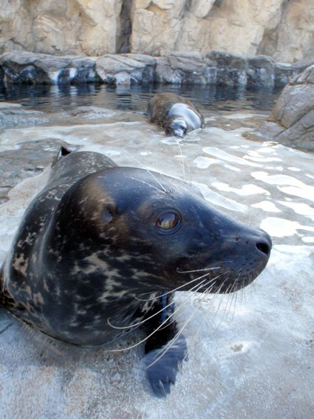 Shelby the Harbor Seal