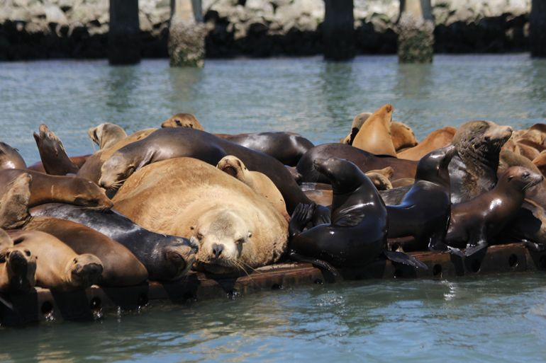 "Steller Sea Lion Getting ""Thiggy"" with California Sea Lions"