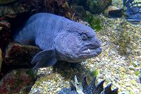 wolf eel with tentacle on lip - thumbnail