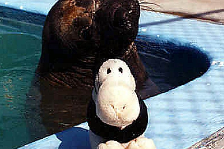 Gimpy the seal with stuffed toy - slideshow