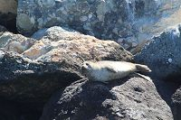 Harbor seal sitting on a rock - thumbnail