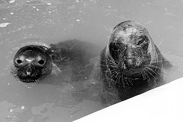 Two seals peaking out of the water - slideshow