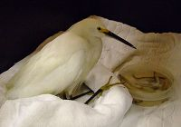 Our Rescued Snowy Egret: A Progress Note