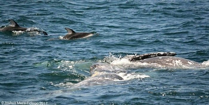 Gray whales and pacific white-sided dolphins - lightbox