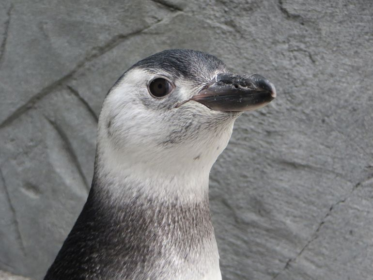 Avery the Penguin's Chick