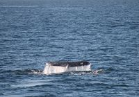A Record Breaking Gray Whale Season