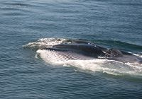 A Fin Whale Steals the Spotlight!