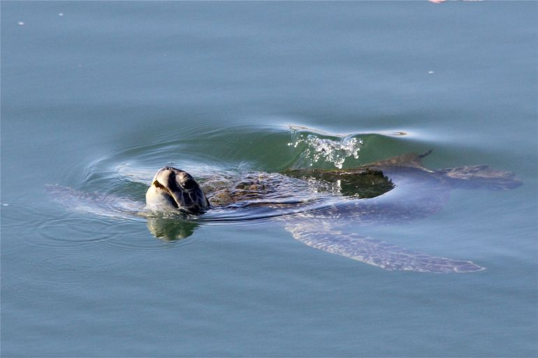 Photographing the Sea Turtles of the San Gabriel River