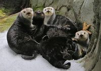 Sea Otters Using Ice to Keep Warm