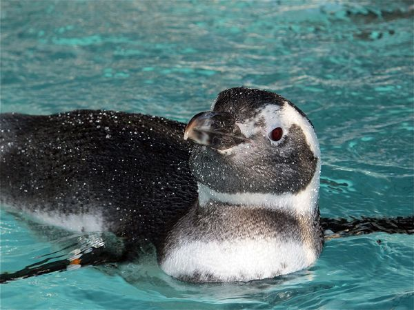 Helping Wayward Magellanic Penguins