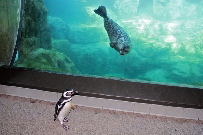 Walking with Penguins at the Aquarium of the Pacific