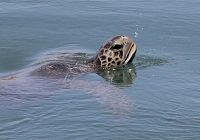 10 Thing You Should Know About the Urban Sea Turtle of Los Angeles