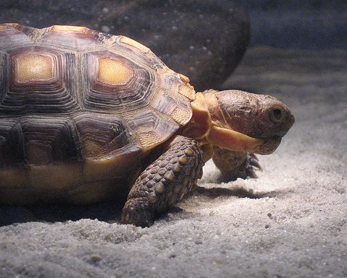 Animal Spotlight:  The California Desert Tortoise
