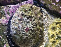 Red abalone in water - thumbnail