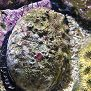 Red abalone in water thumbnail