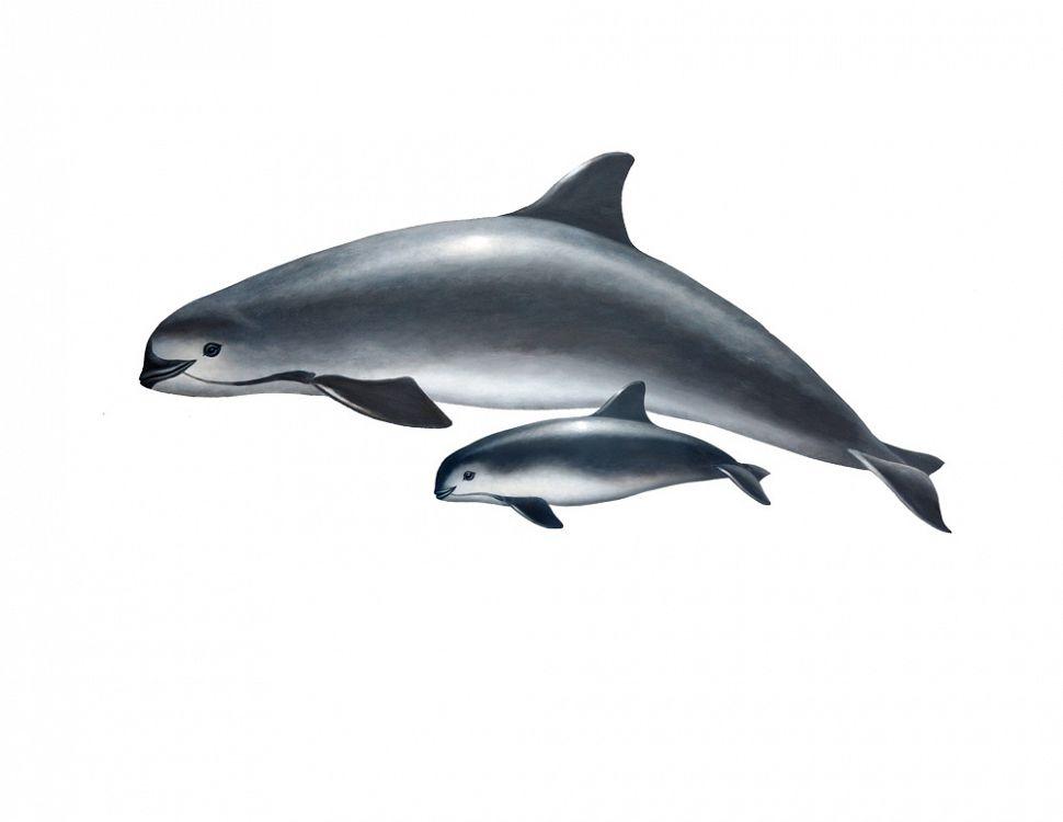 Aquarium of the Pacific | Conservation | Vaquita Marina ...