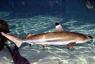 /images/conservation/blacktipcrop.jpgAquarium Conservation and Research/images/conservation/blacktipcrop.jpg links to Artificial Insemination in Sharks
