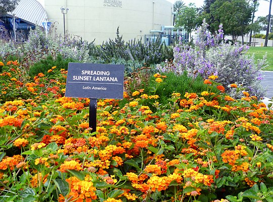 Spreading Sunset Lantana in front of the Aquarium - slideshow