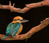 Kingfisher bird sitting on a branch links to Guam Micronesian Kingfisher