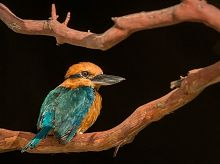 Kingfisher bird sitting on a branch links to Conservation Initiatives