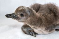 /images/conservation/penguin_chick_2014Riggs750.jpgAquarium Conservation and Research/images/conservation/penguin_chick_2014Riggs750.jpg links to Magellanic Penguins