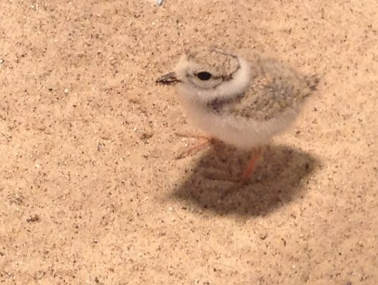 The Great Lakes Piping Plover Recovery Effort