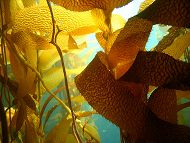Kelp links to Kelp Forest Habitat