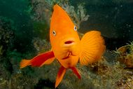Garibaldi links to Kelp Forest Conservation