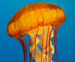 Webcam: Sea Nettles