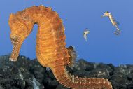 Seahorse links to Amazing Adaptations