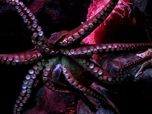 Giant Pacific Octopus - popup