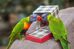 two lorikeets share a cranberry