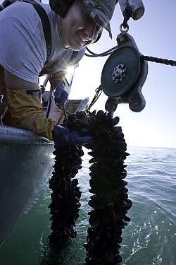 Fisherman with mussels on a longline