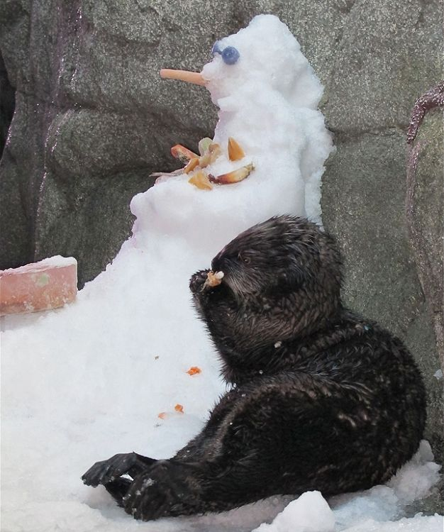 Otter enjoys frozen treats next to a snowman. - lightbox