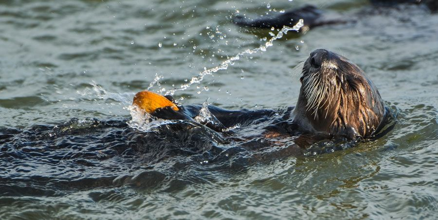 Sea otter breaking shell open at surface of water - lightbox