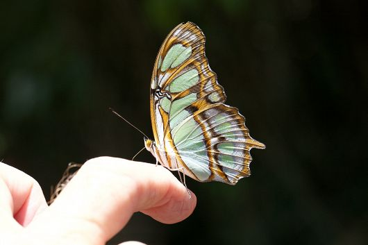 The Malachite butterfly on Cooper's finger - popup