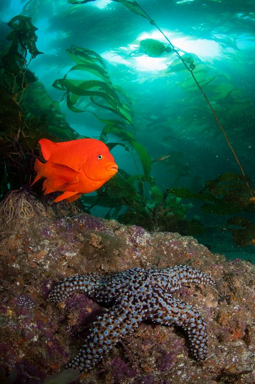 Garibaldi in a kelp forest - lightbox