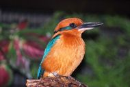 Extinct in the Wild: Partnering to Save the Guam Kingfisher