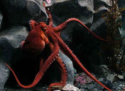 giant-pacific-octopus-bgray.jpg