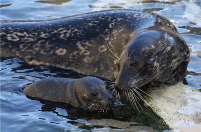 Harbor seal with calf