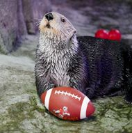 otterbowl.jpg links to Get Ready for Kickoff as the Aquarium Hosts Its Fourth Annual Otter Bowl