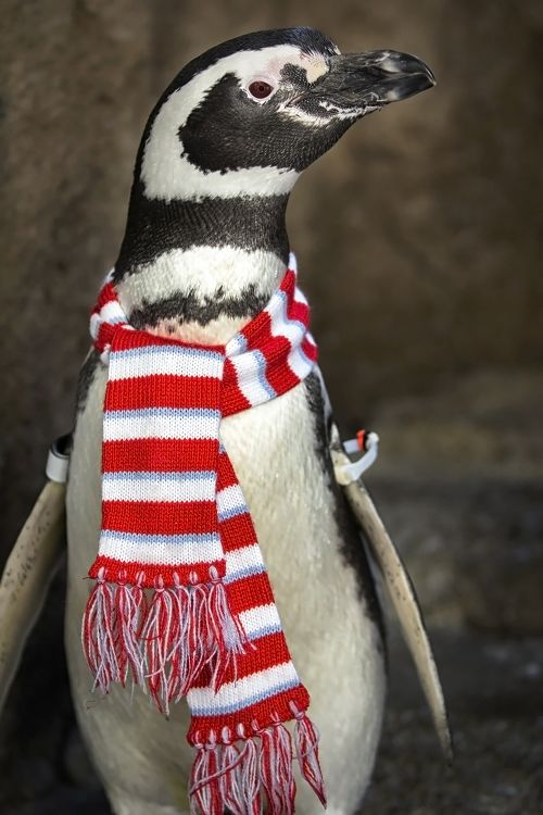Penguin wearing a striped scarf - lightbox