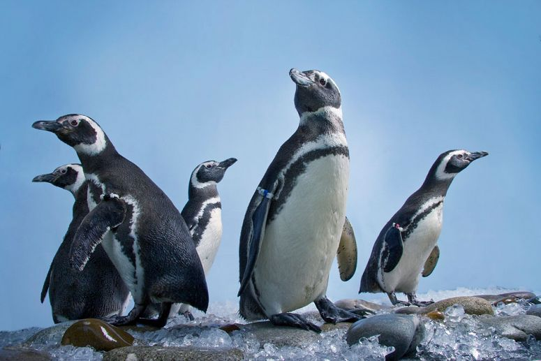 Magellanic Penguins Go On Exhibit May 17